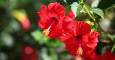 Nigeria to resume exportation of hibiscus flower to Mexico – NAQS DG
