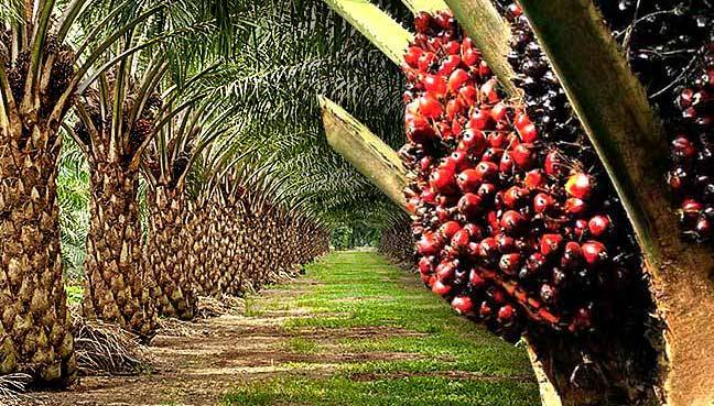 Netherlands hints partnership with Nigeria on oil palm development in 3 states