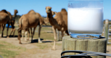 Dietician says camel milk alternative for lactose intolerant people
