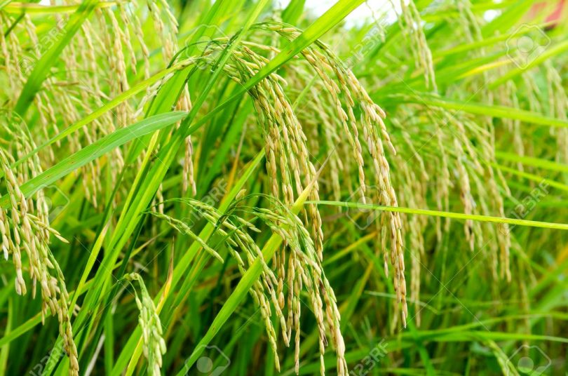 We lost over 300 hectares of rice farm to flood in Delta – Farmer