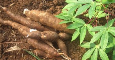 Border closure: Group says Cassava gaining more industrial relevance