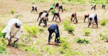 IITA, ACAI to train 30,000 farmers on cassava weed management