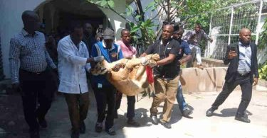 'Maiguard': LASG evacuates lion from private residence to Lekki Zoo
