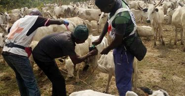 Deworming campaign: Red Cross targets 140,000 livestock in Nasarawa