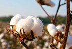 Cotton association partners CBN to resuscitate CTG sector