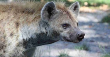 Panic as giant hyena escapes from Imo zoo