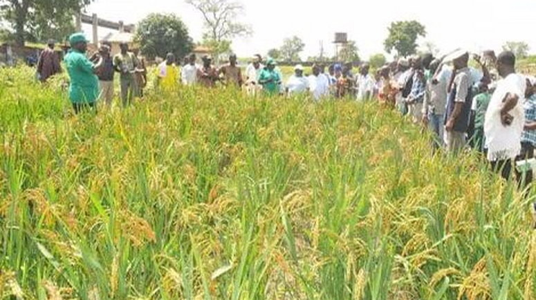 Anchor Borrowers Programme : 40,000 rice farmers to benefit in Kano