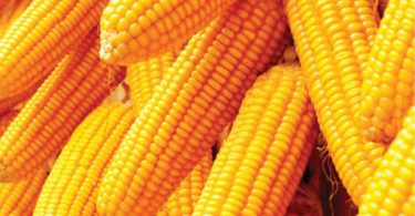 Ban on maize importation should go beyond economic benefits- Agro expert