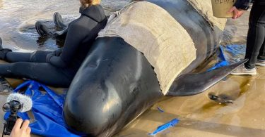 Australian rescuers confirm 94 whales saved after mass stranding