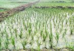 Food security: Kebbi farmers get training on combining rice with fish farming