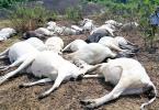 EKITI: Thunder strikes in Ikogosi, kills 15 cows